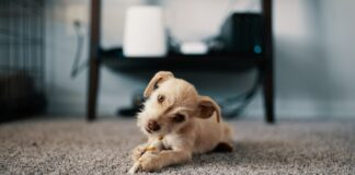 Carpet Safe from Pet Stains